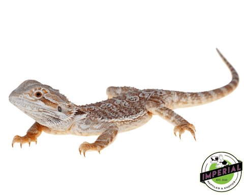 bearded dragon for sale, buy reptiles online