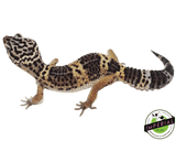 black knight leopard gecko for sale, buy reptiles online
