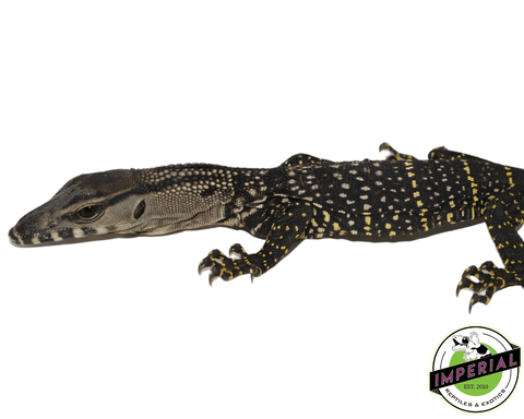 black roughneck monitor lizard for sale, buy reptiles online