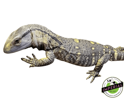black throat monitor lizard for sale, buy reptiles online