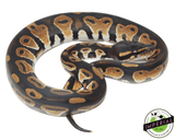 blackhead ball python for sale, buy reptiles online