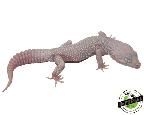 blazing blizzard leopard gecko for sale, buy reptiles online