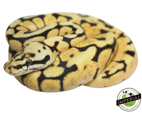 bumble bee ball python for sale, buy reptiles online