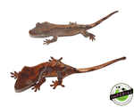 flame crested gecko for sale, buy reptiles online