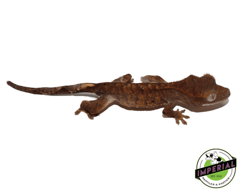 dalmation crested gecko for sale, buy reptiles online