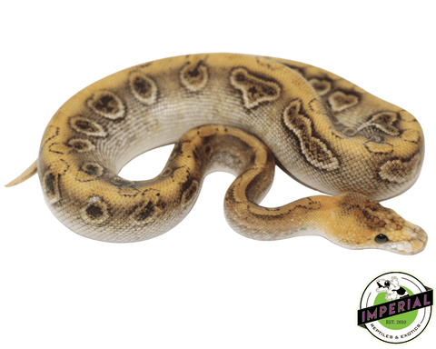 enchi champagne ball python for sale, buy reptiles online