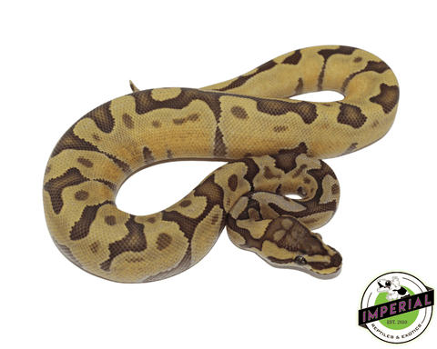 enchi ghost ball python for sale, buy reptiles online