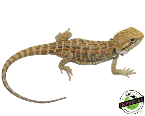 Citrus Tiger Bearded Dragon