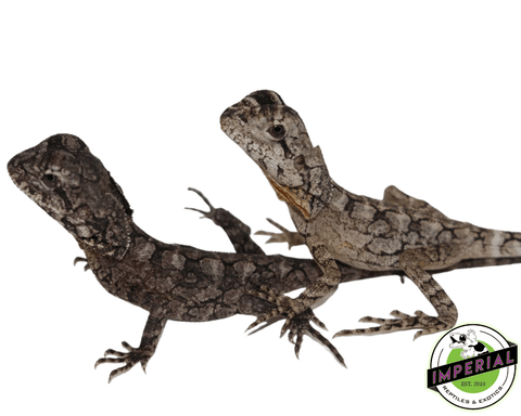 frilled dragon for sale, buy reptiles online