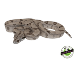 ghost colombian boa constrictor for sale, buy reptiles online