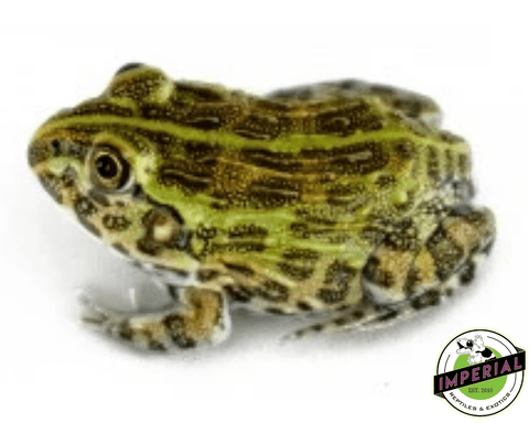 giant pixie frog for sale, buy amphibians online