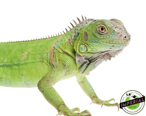 green iguana for sale, buy reptiles online