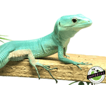 green keeled lizard for sale, buy reptiles online