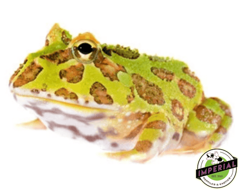 green pacman frog for sale, buy amphibians online