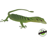 Yearling Green Tree Monitor