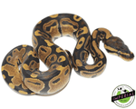 het pied ball python for sale, buy reptiles online