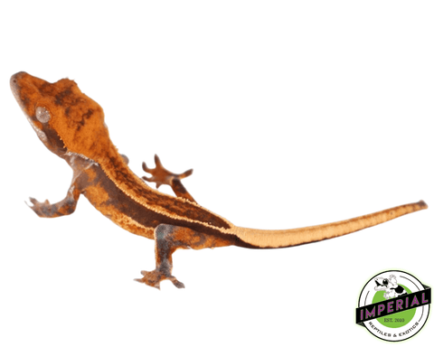 high end crested gecko for sale, buy reptiles online