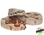 hypo colombian boa constrictor for sale, buy reptiles online