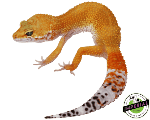 hypo het eclipse leopard gecko for sale, buy reptiles online
