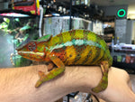Panther Chameleon (Vohemar)