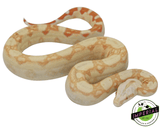 albino colombian boa constrictor for sale, buy reptiles online