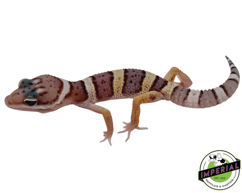 leopard gecko for sale, buy reptiles online