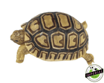 leopard tortoise for sale, buy reptiles online