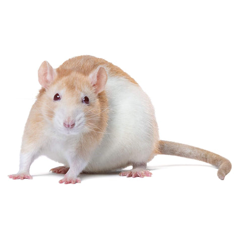 buy live rodents online at cheap prices near you, rats for sale