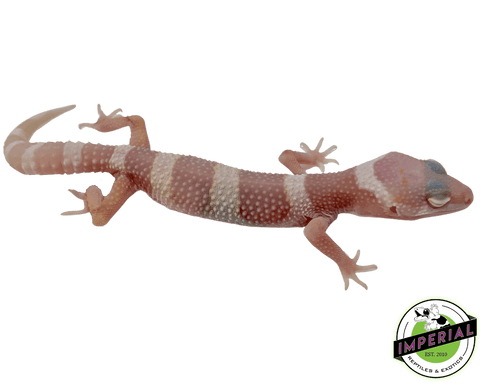 mack snow albino leopard gecko for sale, buy reptiles online