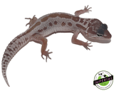 mack snow patternless leopard gecko for sale, buy reptiles online