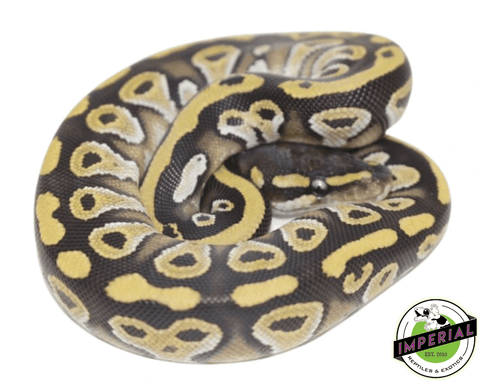 mojave ball python for sale, buy reptiles online
