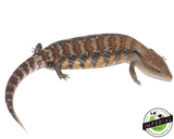 blue tongue skink for sale, buy reptiles online