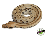 ocelot borneo short tail python for sale, buy reptiles online