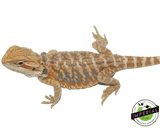 orange hypo bearded dragon for sale, buy reptiles online