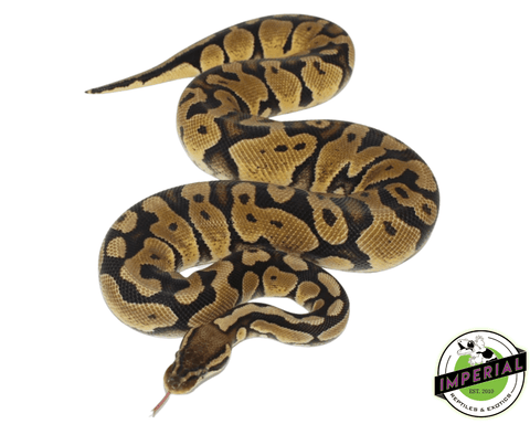 pastel adult ball python for sale, buy reptiles online