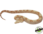 red pastel sharp sunglow colombian boa constrictor for sale, buy reptiles online