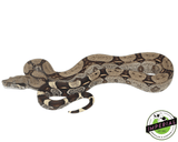peruvian boa constrictor for sale, buy reptiles online