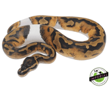 pied ball python for sale, buy reptiles online