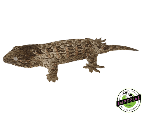 Leachianus Gecko for sale, buy reptiles online