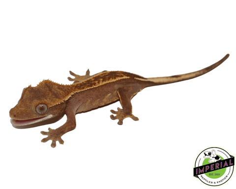 pinstripe crested gecko for sale, buy reptiles online