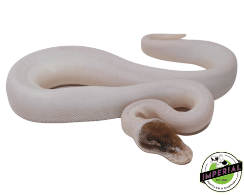 pinto pied ball python for sale, buy reptiles online