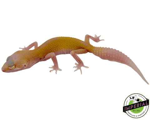 raptor leopard gecko for sale, buy reptiles online
