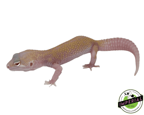 raptor solid red eyes leopard gecko for sale, buy reptiles online