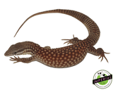 red ackie monitor lizard for sale, buy reptiles online