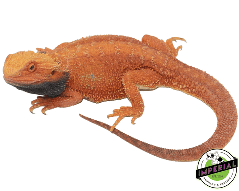 adult red bearded dragon for sale, buy reptiles online