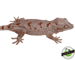 red blotched reticulated gargoyle gecko for sale, buy reptiles online