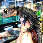 red eye crocodile skink for sale, buy reptiles online