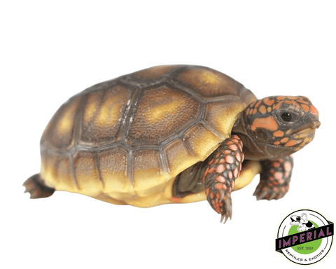 red foot tortoise for sale, buy reptiles online