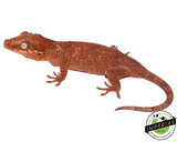 red gargoyle gecko for sale, buy reptiles online