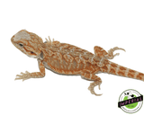red hypo leatherback bearded dragon for sale, buy reptiles online
